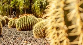 Zamyka w górę suchego kaktusowego lasu fotografia stock