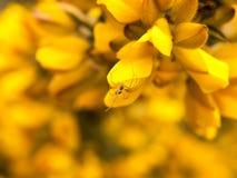 zamyka w górę szczegółu żółte kolcolist miotły kwiatu głowy makro- z pająkiem obraz royalty free