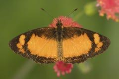 Zamyka w górę szczegółu czarny i pomarańczowy motyl na czerwonym kwiacie od above zdjęcie stock