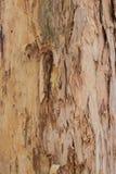 Zamyka w górę tekstur struga barkentynę na eukaliptusowym gumowym drzewie Zdjęcie Royalty Free