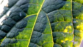 Zamyka w górę tekstury drzewny liść w zmierzchu czasie zbiory wideo