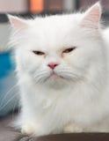 Zamyka w górę twarz białego Perskiego kota Obrazy Royalty Free