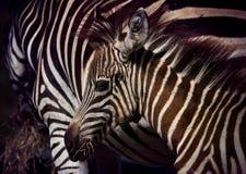 Zamyka w górę twarzy młody afrykański pustkowie zebry konik w polu Zdjęcia Stock