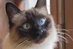 Zamyka w górę twarzy piękny siamese kot z ekspresyjnymi niebieskimi oczami Śliczny mały kot gubi biali bokobrody i tęsk fotografia royalty free