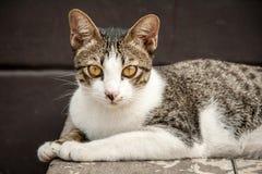Zamyka w górę twarzy przybłąkany kot w portrecie Fotografia Stock