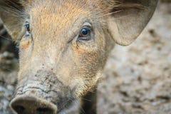 Zamyka w górę twarzy udomowiający dziki knur w tropikalnym lesie Obraz Royalty Free