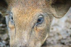 Zamyka w górę twarzy udomowiający dziki knur w tropikalnym lesie Fotografia Stock