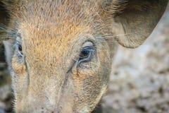 Zamyka w górę twarzy udomowiający dziki knur w tropikalnym lesie Zdjęcie Stock