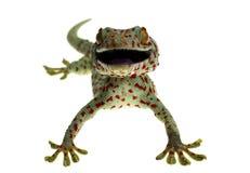 Zamyka w górę uśmiechu gekonu na białym tle obrazy stock