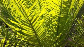 Zamyka w górę ulistnienie cycad w litchfield parku narodowym zbiory