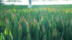 Zamyka w górę unbudded tulipanów r wpólnie zbiory