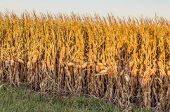 Zamyka w górę widoku dojrzały pole uprawne Omaha Nebraska obraz stock