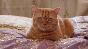 Zamyka w górę widoku imbirowy brytyjski kot siedzi wciąż w łóżkowej i patrzeje kamerze zbiory