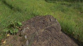 Zamyka w górę widoku mrówki na kamieniu, cieśla mrówka, camponotus herculeanus Praca zespołowa: czarne i czerwone mrówki na drewn zbiory