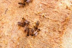 Zamyka w górę widoku pracujące pszczoły Zdjęcie Stock