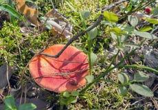 Zamyka w górę widoku russula pieczarka zdjęcie royalty free