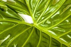 Zamyka w górę widoku szczegóły filodendron rośliny liść Zdjęcia Stock