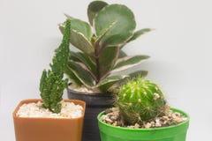 Zamyka w górę widoku trzy mały kaktus odizolowywający na białym tle zdjęcie stock
