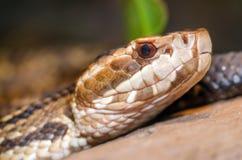 Zamyka w górę wizerunku cottonmouth wąż (Agkistrodon piscivorus) Zdjęcie Stock