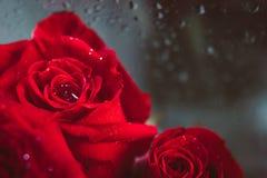 Zamyka w górę wizerunku czerwone róże i wod krople po deszczu wysoki Obrazy Royalty Free