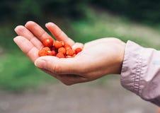 Zamyka w górę wizerunku garści dzikiej truskawki w kobiety ręce Obraz Stock