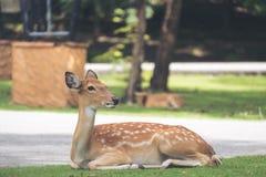 Zamyka w górę wizerunku jeleni obsiadanie na trawa jardzie obrazy stock