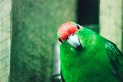 Zamyka w górę wizerunku Nowa Zelandia koronujący Parakeet obrazy stock