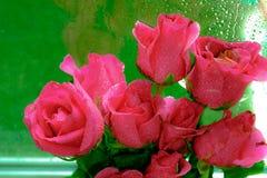Zamyka w górę wizerunku różowe róże i wod krople po deszczu Hig Fotografia Stock