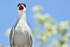 Zamyka w górę Wrzeszczeć Pospolitego Tern na naturalnym niebieskiego nieba tle (mostku hirundo) Zdjęcie Royalty Free