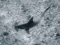 Zamyka W górę Wysokiego kąta Hammerhead rekinu Czarny I Biały Zdjęcia Stock