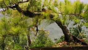 Zamyka w górę zielonego conifer drzewa na góra krajobrazie Wiecznozielony świerkowy drzewo w lato góry lesie zbiory