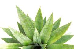 Zamyka w górę zielonego liścia odizolowywającego na bielu ananas Obraz Stock
