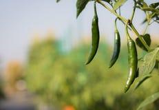 Zamyka w górę zielonego pieprzu dorośnięcia w śródpolnym rośliny rolnictwa gospodarstwie rolnym Fotografia Stock