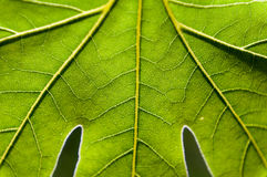Zamyka w górę zielonej liść tekstury Obraz Royalty Free