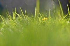 Zamyka w górę zielonej trawy z żółtym kwiatem zdjęcia royalty free