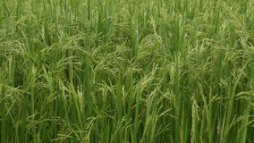 Zamyka w górę zielonych Jaśminowych ryż w Tajlandia zbiory