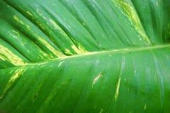 Zamyka w górę zielonych liści jako tło liść abstrakcyjna konsystencja Obrazy Royalty Free