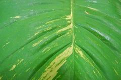 Zamyka w górę zielonych liści jako tło liść abstrakcyjna konsystencja Zdjęcie Stock