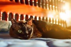 zamyka w górę zwierzęcego brown kota dosypiania w łóżku i zaświeca bokeh backgr Fotografia Stock