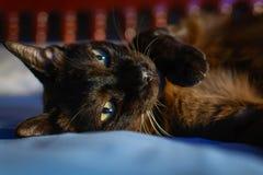 zamyka w górę zwierzęcego brown kota dosypiania w łóżku i zaświeca bokeh backgr Obraz Stock