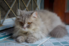 zamyka w górę zwierzęcego Perskiego kota dosypiania w łóżku Zdjęcia Stock