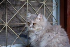 zamyka w górę zwierzęcego Perskiego kota dosypiania w łóżku Fotografia Stock