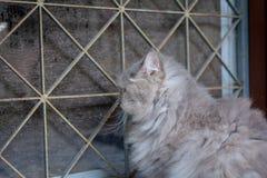 zamyka w górę zwierzęcego Perskiego kota dosypiania w łóżku Zdjęcie Royalty Free