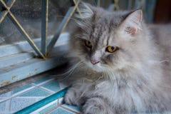zamyka w górę zwierzęcego Perskiego kota dosypiania w łóżku Fotografia Royalty Free