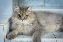 zamyka w górę zwierzęcego Perskiego kota dosypiania w łóżku i zaświeca plamy backg Zdjęcia Stock