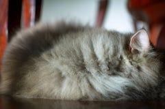 zamyka w górę zwierzęcego Perskiego kota dosypiania w łóżku i zaświeca plamy backg Obrazy Stock