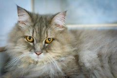 zamyka w górę zwierzęcego Perskiego kota dosypiania w łóżku i zaświeca plamy backg Fotografia Royalty Free