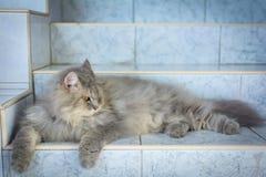 zamyka w górę zwierzęcego Perskiego kota dosypiania w łóżku i zaświeca plamy backg Fotografia Stock