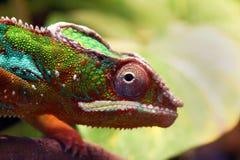 Zamyka w górę zwierzęcej portret fotografii kameleon jaszczurka Zdjęcia Royalty Free
