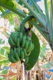 Zamyka w górę bananowej owoc na drzewie Obrazy Stock